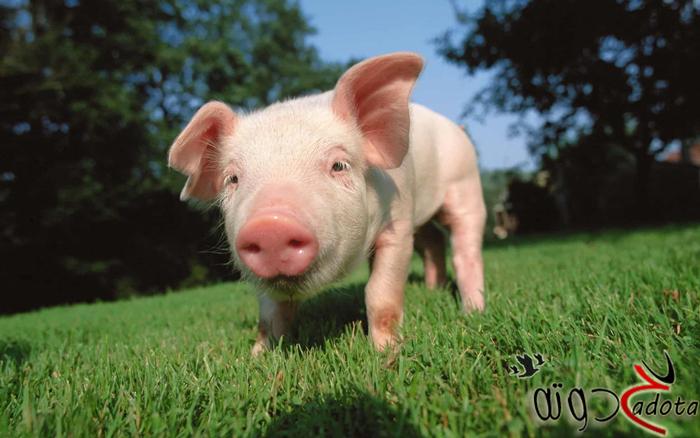 تفسير حلم رؤية الخنزير في المنام موقع حدوتة